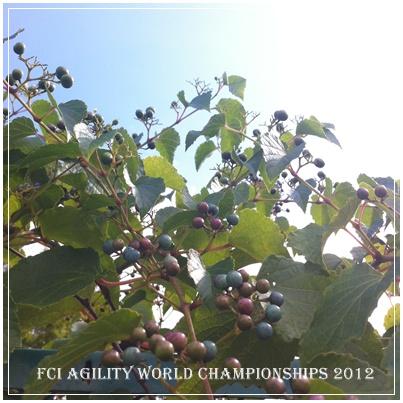 アジリティ世界大会2012.jpg